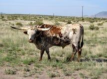 Mucca texana del Texas nel Texas ad ovest Fotografia Stock Libera da Diritti