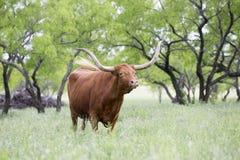 Mucca texana enorme del Texas fotografia stock