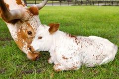 Mucca texana miniatura del Texas del vitello e della madre Immagine Stock Libera da Diritti