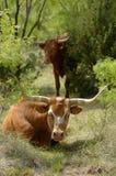 Mucca texana nel boschetto del Mesquite fotografia stock libera da diritti