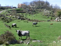 Mucca toscana Fotografie Stock