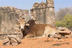 Mucca - un animale indiano sacro Fotografia Stock Libera da Diritti