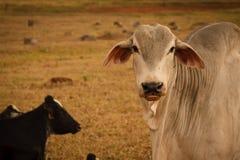 Mucca in un'azienda agricola Immagine Stock Libera da Diritti