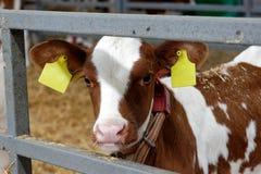 Mucca in un'azienda agricola Industria di agricoltura Immagini Stock