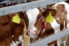 Mucca in un'azienda agricola Industria di agricoltura Immagine Stock Libera da Diritti