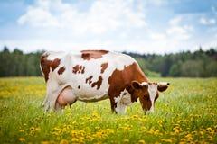 Mucca in un campo Immagini Stock