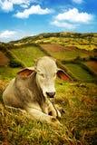 Mucca in un campo fotografia stock libera da diritti