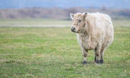 Mucca in un campo Fotografie Stock Libere da Diritti