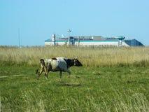 Mucca in un campo su una pianta del fondo in Russia centrale Immagini Stock Libere da Diritti