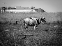 Mucca in un campo su una pianta del fondo in Russia centrale Immagine Stock Libera da Diritti