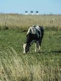 Mucca in un campo su una pianta del fondo in Russia centrale Fotografia Stock