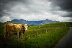 Mucca in un campo in tempo tempestoso Immagini Stock