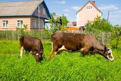Mucca in un campo verde immagine stock