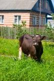 Mucca in un campo verde immagini stock
