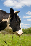 Mucca in un campo verde fotografie stock libere da diritti