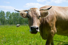 Mucca in un campo verde fotografia stock libera da diritti