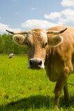 Mucca in un campo verde fotografia stock