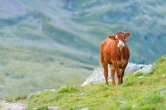 Mucca in un pascolo nelle alpi svizzere Fotografia Stock Libera da Diritti