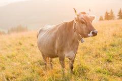 Mucca in un pascolo nelle montagne appena prima il tramonto Immagine Stock Libera da Diritti