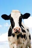 Mucca in un pascolo in nordico della Germania Immagini Stock Libere da Diritti