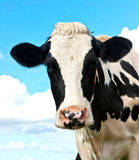 Mucca in un pascolo in nordico della Germania Fotografia Stock
