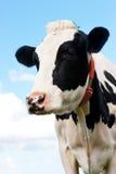 Mucca in un pascolo in nordico della Germania Immagine Stock