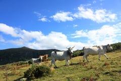 Mucca in un pascolo, Pyrenees Fotografia Stock