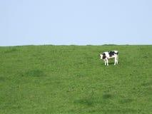Mucca in un prato Immagini Stock Libere da Diritti