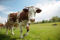 Mucca variopinta curiosa Immagine Stock Libera da Diritti