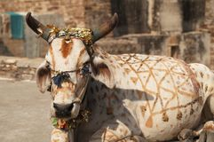 Mucca verniciata fotografia stock libera da diritti