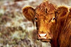 Mucca vicina dell'altopiano Fotografie Stock Libere da Diritti