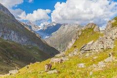 Mucca vicino al ghiacciaio di Aletsch Fotografia Stock Libera da Diritti