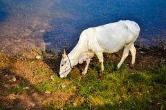 Mucca vicino al lago in Angkor, Cambogia Fotografie Stock Libere da Diritti