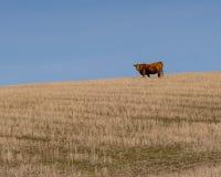 Mucca vigile nell'Oregon centrale Immagine Stock