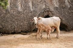Mucca & vitello Fotografia Stock Libera da Diritti
