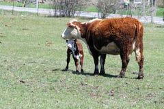 Mucca & vitello di Hereford Immagine Stock