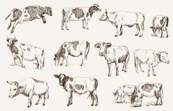 Mucca. zootecnia Fotografia Stock Libera da Diritti