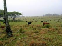 Mucche Fotografie Stock