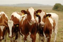 Mucche. Fotografia Stock