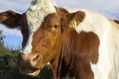 Mucche Fotografia Stock Libera da Diritti