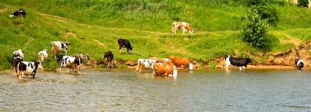 Mucche Immagine Stock Libera da Diritti
