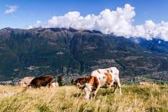 Mucche Fotografie Stock Libere da Diritti