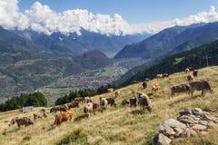 Mucche Immagini Stock Libere da Diritti