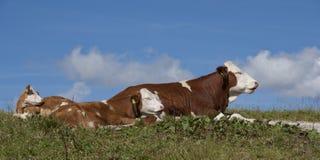 mucche Immagini Stock