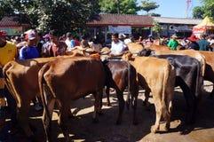 mucche Fotografia Stock
