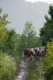 mucche immagine stock