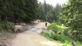 mucche archivi video
