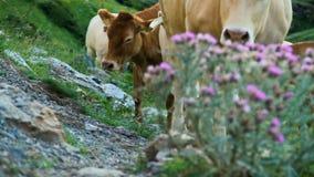mucche video d archivio