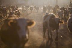 Mucche ad alba Fotografie Stock Libere da Diritti