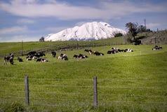 Mucche ad un campo Fotografie Stock Libere da Diritti